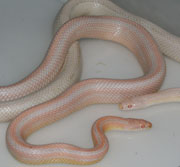 Bubblegum Snow Stripe Corn Snakes