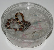 corn snake partial shed remedy
