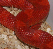Amelanistic Bloodred Corn Snake Scale Close-Up