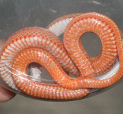 Amelanistic Motley Corn Snake Ventral Photo