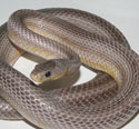Anery Bloodred Stripe Corn Snake Adult