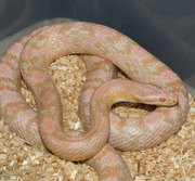 Bubblegum Snow Corn Snake