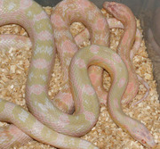 Bubblegum Snow Corn Snakes