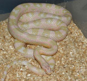 Female Ault Bubblegum Snow Corn Snake