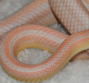 Bubblegum Snow Stripe Corn Snake Hatchlings