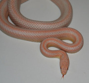 Bubblegum Snow Stripe Corn Snake