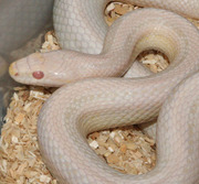 Bubblegum Snow Stripe Corn Snake Yearling
