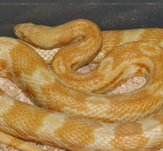 Female Adult Butter Corn Snake