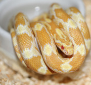 Butter Corn Snake In Water Dish
