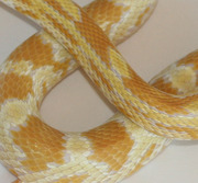Butter Corn Snake Yearling