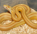 Butter Stripe Corn Snake