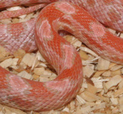 Coral Snow Corn Snake Scale Close-Up