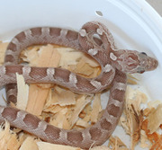 Ghost Bloodred Corn Snake