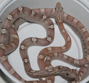 Ghost Bloodred Corn Snakes