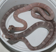 Male and Female Lavender Bloodred Corn Snakes