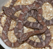 Lavender Corn Snakes from Two Different Lines