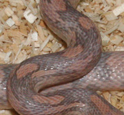 Lavender Corn Snake Scale Close-Up