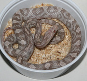 Yearling Lavender Corn Snake
