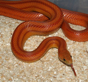 Adult Female Normal Stripe Corn Snake