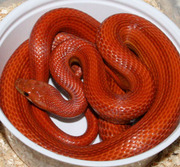 Male Normal Stripe Corn Snake