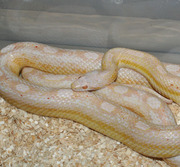 Adult Male Snow Motley Corn Snake