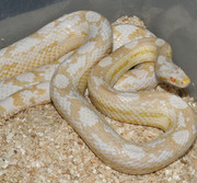 Female Adult Snow Motley Corn Snake