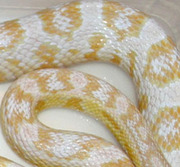 Adult Snow Corn Snake Scale Close-Up