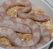 Male Yearling Snow Corn Snake