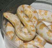 Adult Female Snow Corn Snake