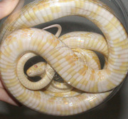 Snow Corn Snake Ventral Photo