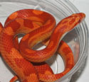 Sunglow Motley Corn Snake