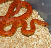 Yearling Male Sunkissed Corn Snake