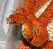 Female Sunkissed Corn Snake