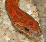 Sunkissed Corn Snake Head Pattern
