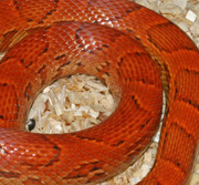 Sunkissed Corn Snake Scale Close-Up