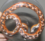 Sunkissed Corn Snake Ventral Photo