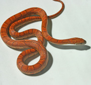 Male Yearling Sunkissed Corn Snake (In Blue)