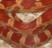 Ultramel Corn Snake Scale Close-Up)